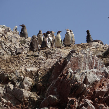 Пингвины островов Бальестас