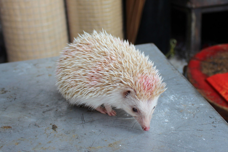 Ежик альбинос
