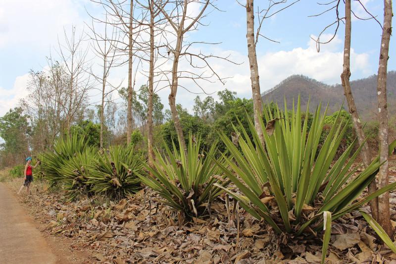 Огромные кусты агавы